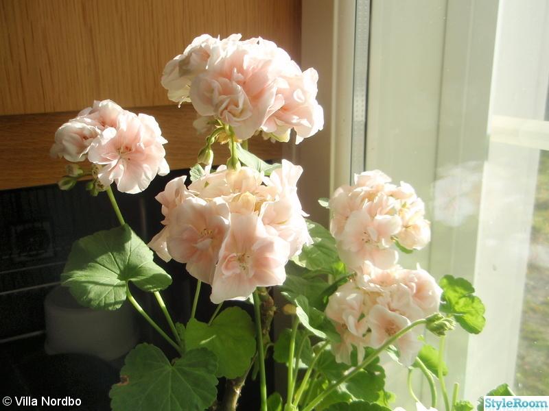rosa,pelargoner