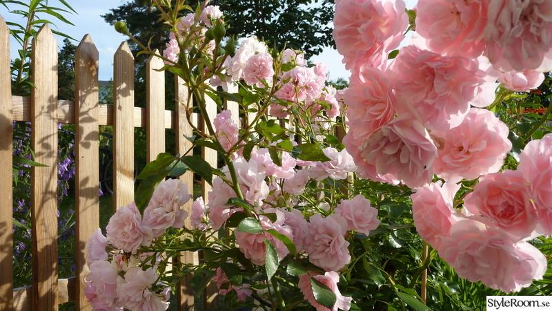 blommor,trädgård,rosor