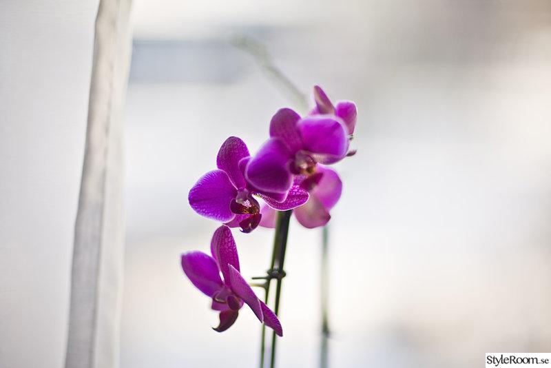orkidé,blomma