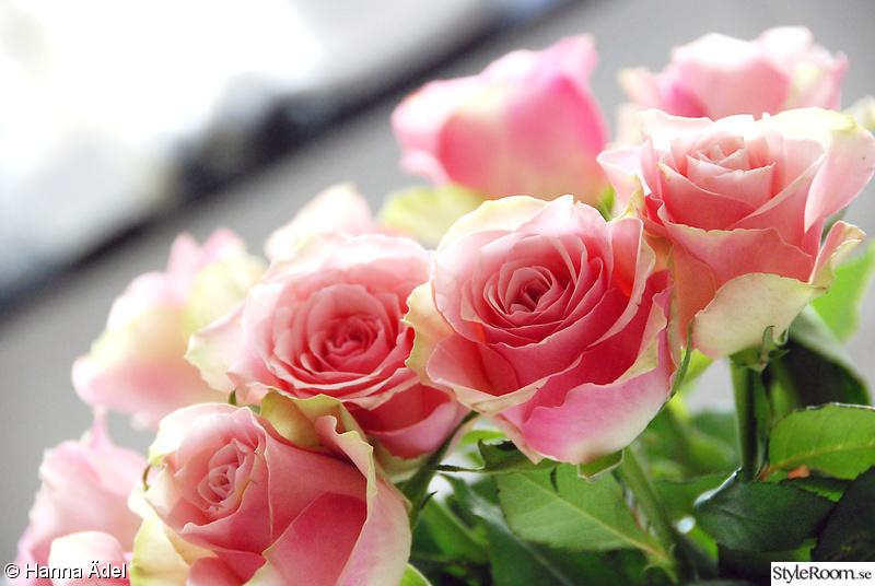 rosor,rosa