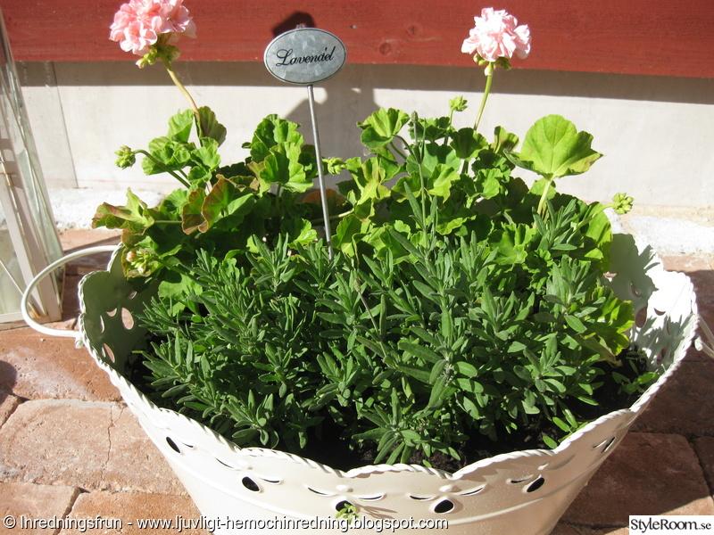 trädgård,lantligt,sommar,lavendel,pelagon