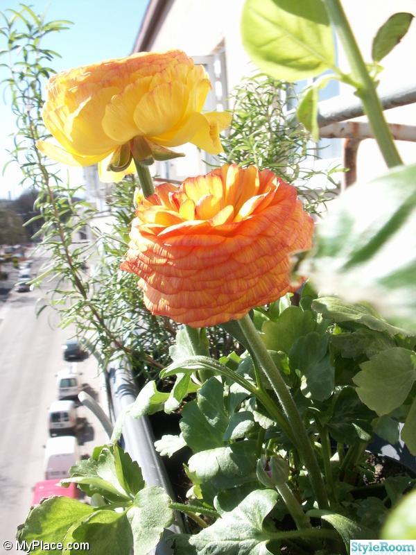 balkong,balkonglåda,blommor