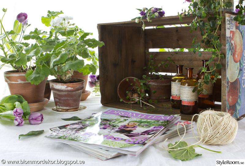 lila,blommor,tidningar,pelargoner,snittblommor