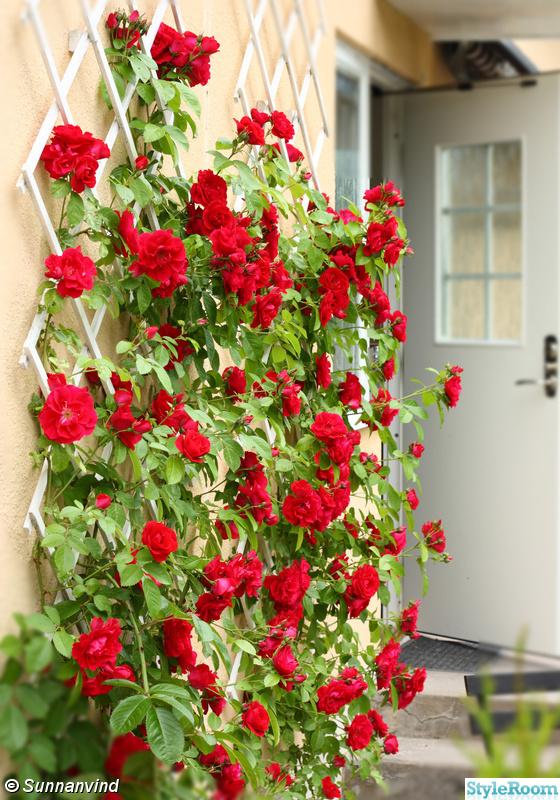 ytterdörr,ros,entre,klätterros,röd ros