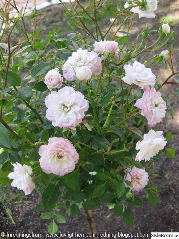 trädgård,sommar,rosor