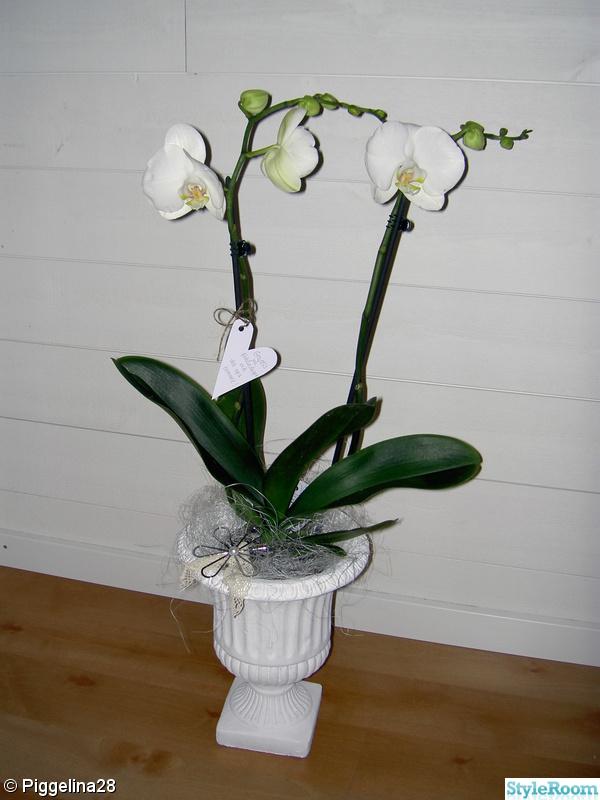 kruka,kruka vit,orchidé
