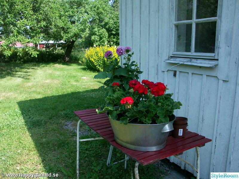 blommor,pelargoner,plantera