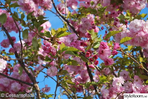 japanskt körsbärsträd,vår,trädgård,körsbärsblom