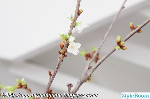 körsbärsblom,körsbärskvist