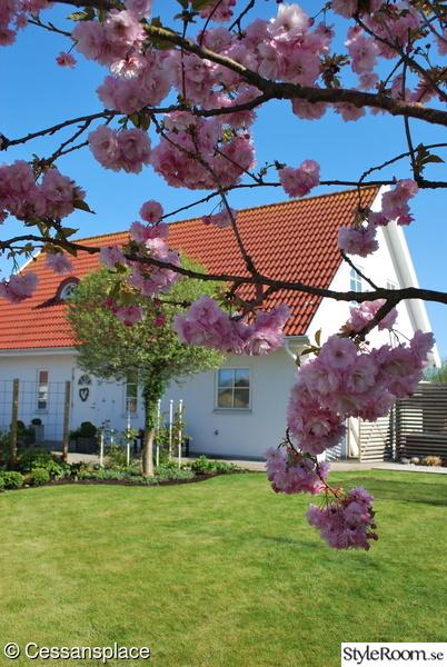 husfasad,japanskt körsbärsträd,entrérabatt,stäppkörsbärsträd,trädgård