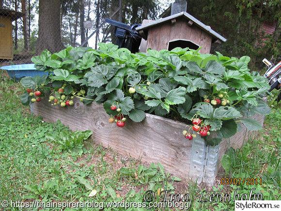 pallkrage,jordgubbsplantor,jordgubbar,trädgård