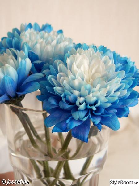 blommor,dahlior,dahlia,blått,glas