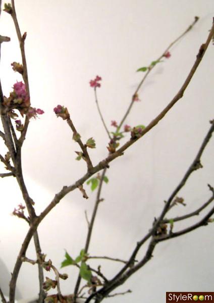kvistar,körsbärsblom