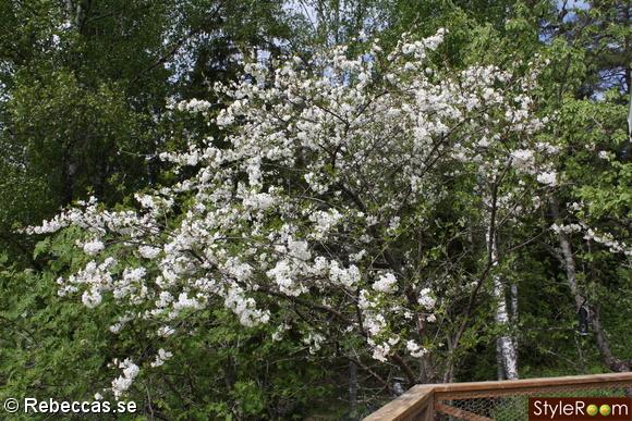 körsbär,körsbärsblom