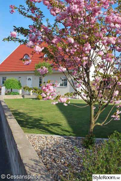 entre,japanskt körsbärsträd,trädgård