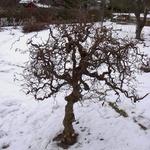 Troll hassel träd