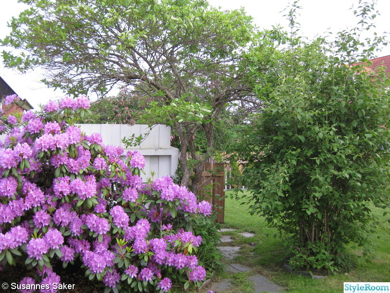 135383 rhododendron